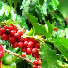MauiGrown Coffee History