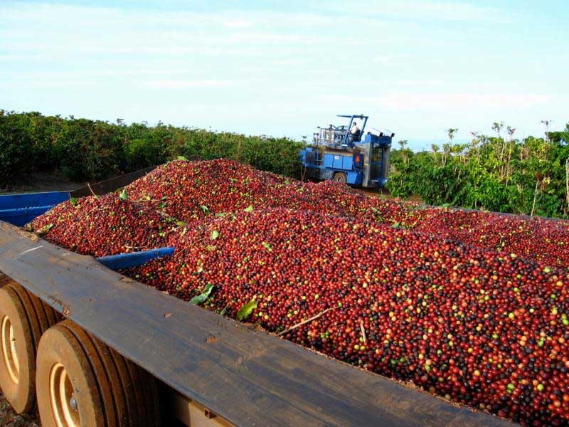 MauiGrown Coffee Harvest Update